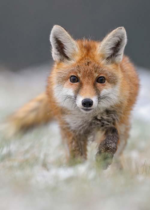 Aufmerksam schauender Fuchs