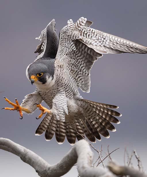Falke landet auf einem Ast