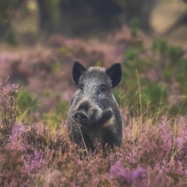 Wildschwein in Blumenwiese