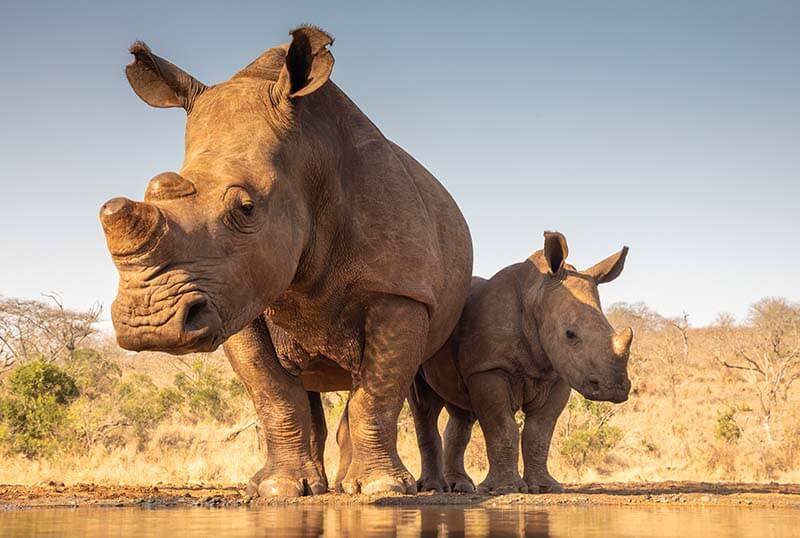 Nashorn beschützt ihr Baby